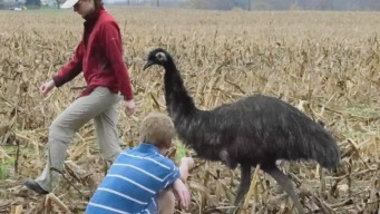 Runaway Emu Finds Home on Delaware Ranch