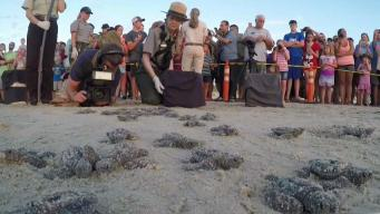 Endangered Sea Turtles Making Comeback On Texas Coast