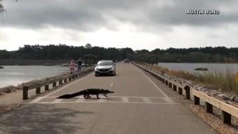 South Carolina Gator Crosses the Road