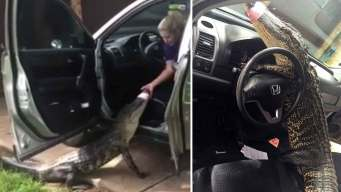Texas Alligator Found Pinned inside SUV