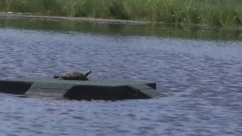 Turtles Get New Home At Golf Course