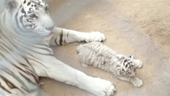 White Tiger Cubs Born in Mexico