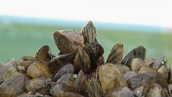 Invasive Zebra Mussels Found in Lake Austin