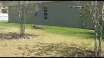 Alligator Strolls Through Florida Neighborhood