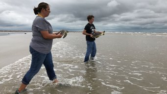 Progress Made Fighting Deadly Virus Threatening Sea Turtles
