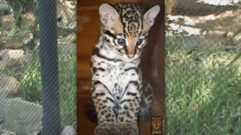 Endangered Ocelot in Texas Apparently Hit by Vehicle, Dies