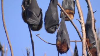 Bats Plague Town