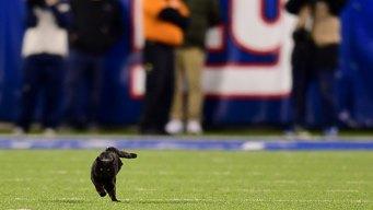 Take Paws: Black Cat Halts Cowboys-Giants Game