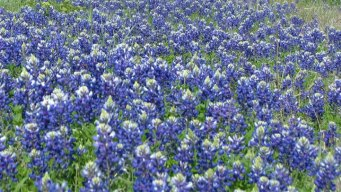 Fall, Winter Rains Brighten Outlook for Texas Wildflowers