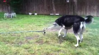 Water Chewing Husky