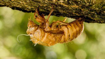 17-Year 'Straggler' Cicadas Sighted Among Annual Variety