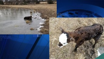Calf Rescued From Icy Pond In North Texas