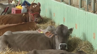 Drought Hits Dairy Farmers at Stock Show