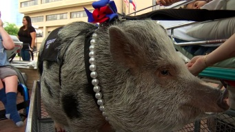 #SomethingGood: Therapy Pig Making the Rounds