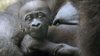 It's a Girl! Dallas Zoo Confirms Baby Gorilla's Gender, Name
