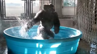 Texas Connects Us: Zola the Viral Gorilla