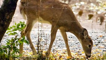 Efforts to Control CWD Impacting Deer Ranchers