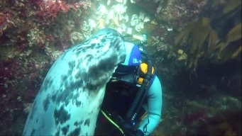 Watch: Diver Plays With His Seal Friends Underwater