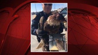 Bald Eagle Euthanized After Being Shot Near Houston
