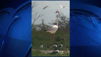 Escaped Flamingo, Loose for 13 Years, Spotted in Texas