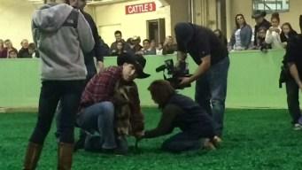 NBC 5 Anchors Talk Stock Show Goat Milking Contest