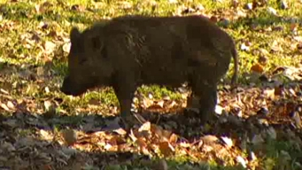 Feral Hog Poison Field Tests in Texas in 2018