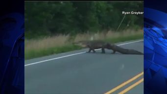 Gator Stops Traffic as It Crosses Road