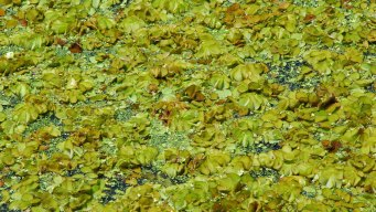 Invasive Giant Salvinia Eradicated from Lakes Fork, Athens