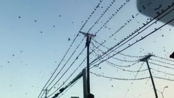 Plague of Grackles Reminiscent of Hitchcock's 'The Birds'