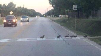 Kudos to Keller Ducks Spotted Using Crosswalk