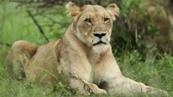 African Lions Lick Tent With Campers Inside