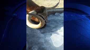 Watch How a Texas Longhorn Beats the Frigid Cold