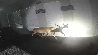 Deer Breaks Into Lufkin Home, Runs Amok Looking for Exit