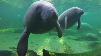 Splashing Near Mating Manatees Puts Fla. Man in Hot Water