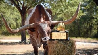 New Bevo Mascot Chosen