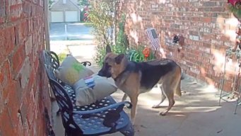 Caught on Camera: Dog Swipes Pillow Off Front Porch