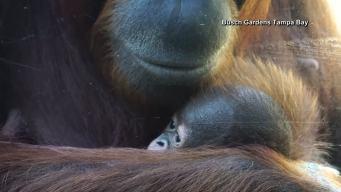 Busch Gardens Welcomes Baby Orangutan