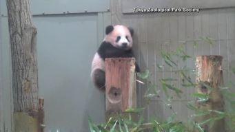 Tokyo Zoo Set to Debut Panda Cub