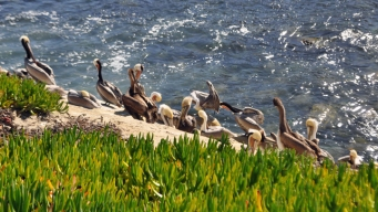 Road Barriers May be Modified After Pelicans Deaths in Texas