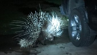 Dog Injured in Run-in with Porcupine