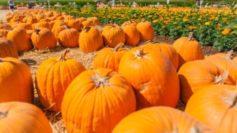 Texas Pumpkin Crops Hit Hard by Heavy Rain