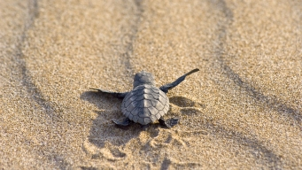 Fewer Sea Turtle Hatchlings Being Cared for at Texas Lab