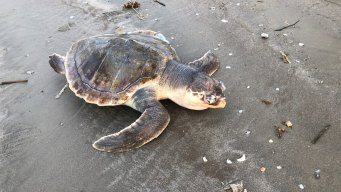 Sea Turtles Dying at Record Rate in TX, Advocacy Group Says