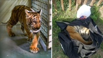 Tiger Found in Duffel Bag Comes Home to North Texas