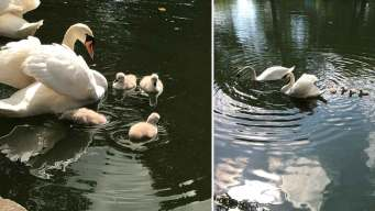 Baby Swans Captivate in University Park
