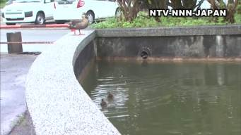 Stuck Ducklings Get A Helping Hand