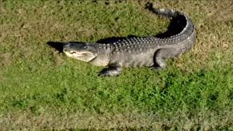 Big Gator Caught Sunbathing