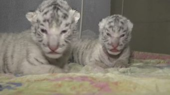 Zoo Workers Caring for Tiger Cubs