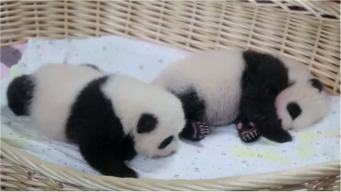 Twin Pandas Make Adorable Debut