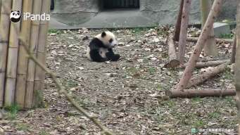 Roly Poly Panda Throws Tantrum
